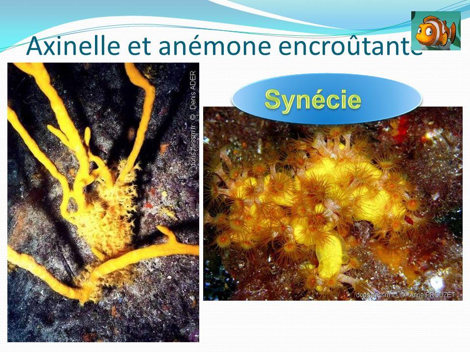 Axinelle et anémone encroûtante