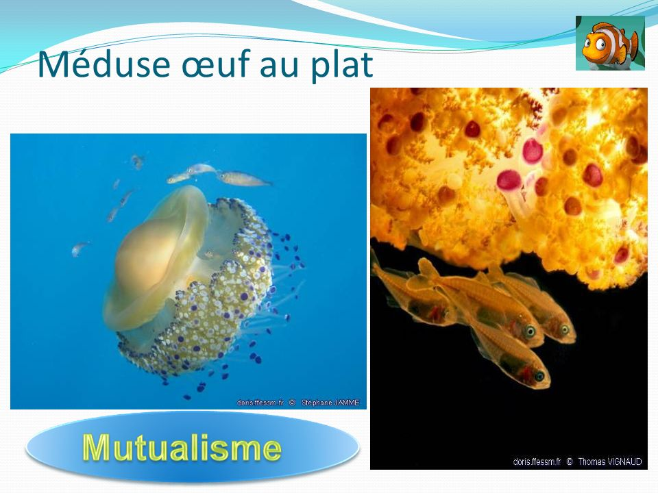 Méduse œuf au plat Association mutualiste: