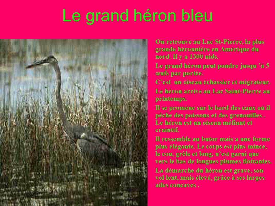 Le grand héron bleu On retrouve au Lac St-Pierre, la plus grande héronnière en Amérique du nord. Il y a 1300 nids.