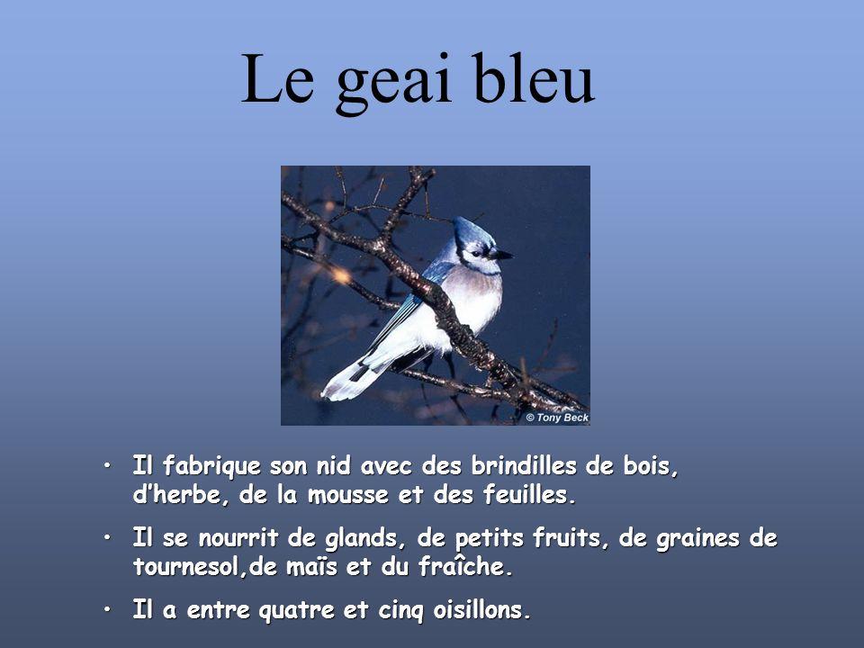 Le geai bleu Il fabrique son nid avec des brindilles de bois, d'herbe, de la mousse et des feuilles.