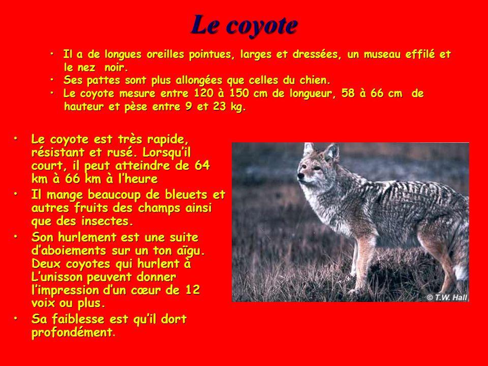 Le coyote Il a de longues oreilles pointues, larges et dressées, un museau effilé et le nez noir.