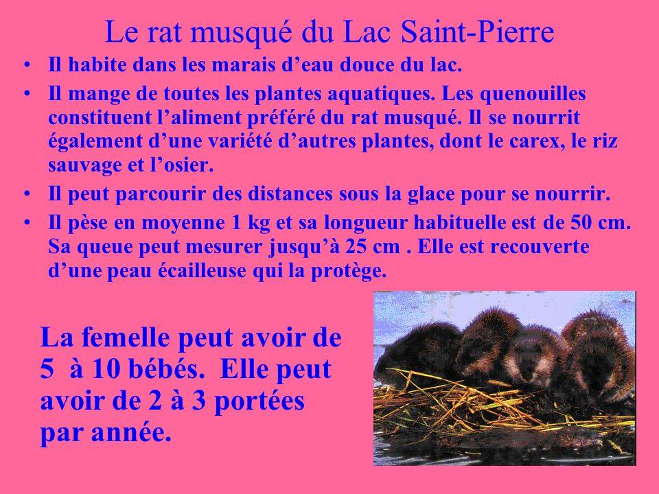 Le rat musqué du Lac Saint-Pierre