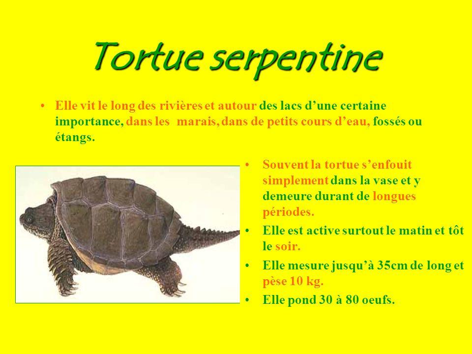 Tortue serpentine