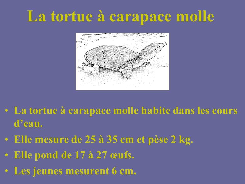 La tortue à carapace molle
