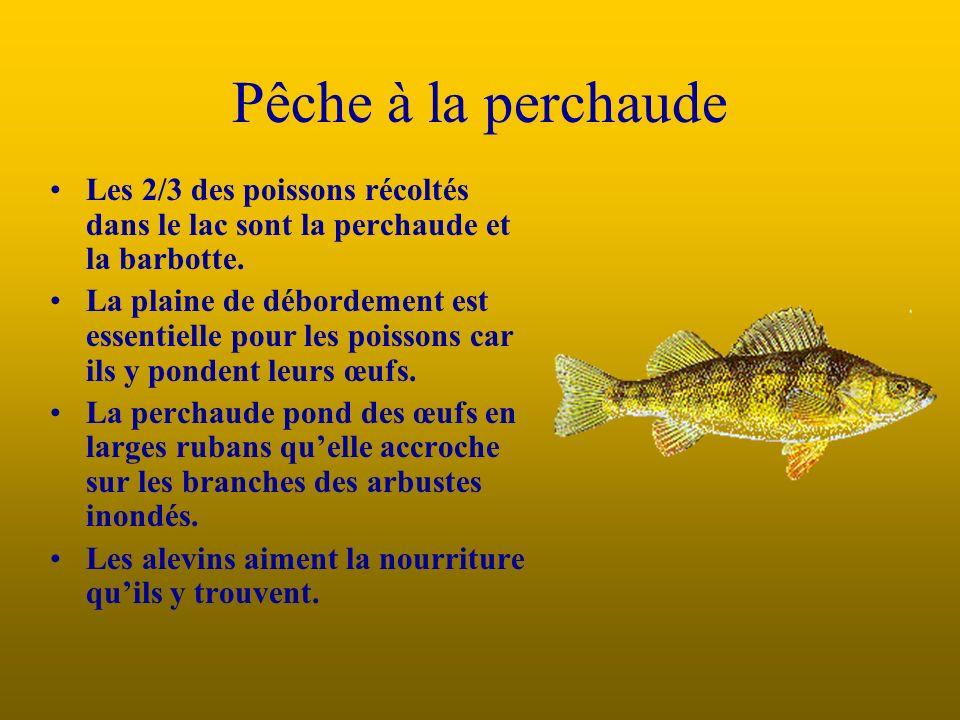 Pêche à la perchaude Les 2/3 des poissons récoltés dans le lac sont la perchaude et la barbotte.