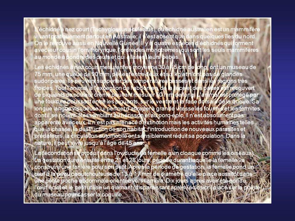 L échidné à nez court (Tachyglossus aculeatus), ou échidné australien est un mammifère vivant pratiquement partout en Australie; il n est absent que dans quelques îles du nord. On le retrouve aussi en Nouvelle Guinée. Il y a quatre espèces d'échidnés qui forment avec leur cousin l ornithorynque, l ordre des monotrèmes, qui sont les seuls mammifères au monde à pondre des œufs et qui allaitent leurs bébés.