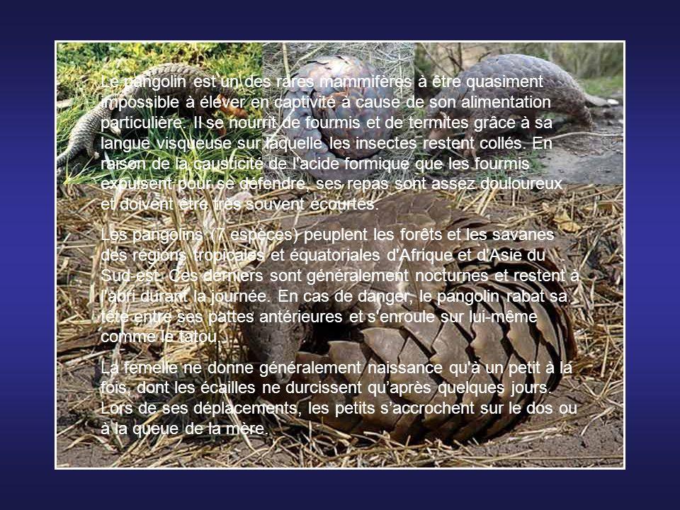 Le pangolin est un des rares mammifères à être quasiment impossible à élever en captivité à cause de son alimentation particulière. Il se nourrit de fourmis et de termites grâce à sa langue visqueuse sur laquelle les insectes restent collés. En raison de la causticité de l acide formique que les fourmis expulsent pour se défendre, ses repas sont assez douloureux et doivent être très souvent écourtés.