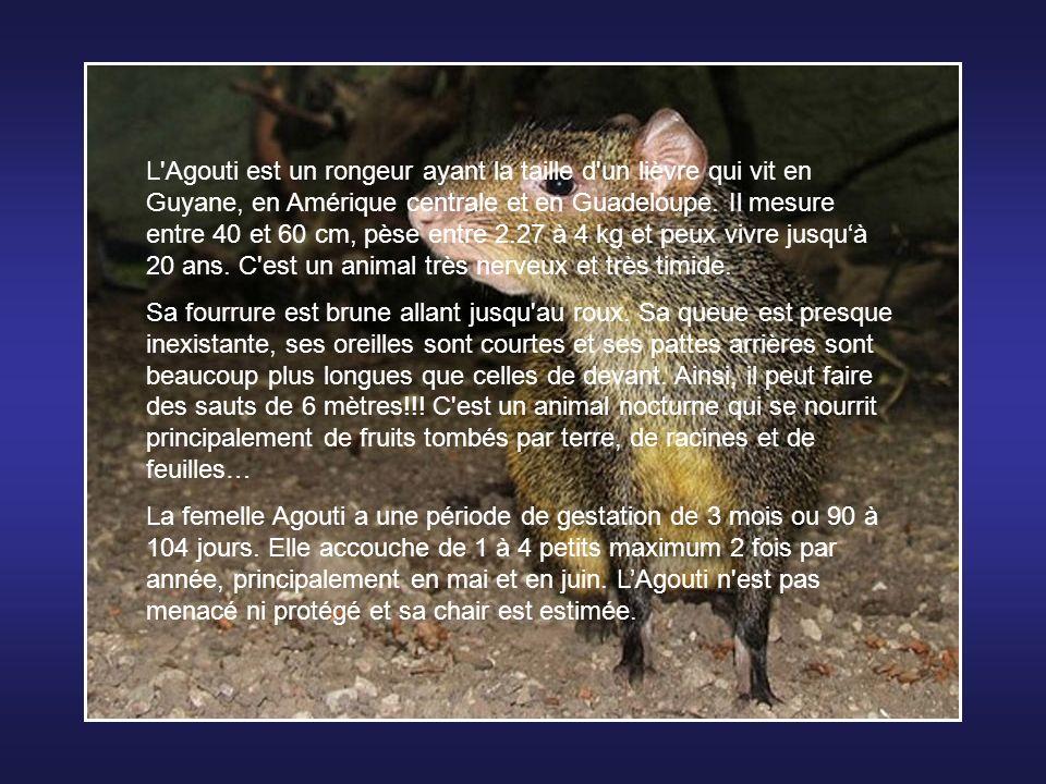 L Agouti est un rongeur ayant la taille d un lièvre qui vit en Guyane, en Amérique centrale et en Guadeloupe. Il mesure entre 40 et 60 cm, pèse entre 2.27 à 4 kg et peux vivre jusqu'à 20 ans. C est un animal très nerveux et très timide.
