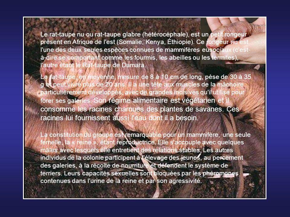 Le rat-taupe nu ou rat-taupe glabre (hétérocéphale), est un petit rongeur présent en Afrique de l est (Somalie, Kenya, Éthiopie). Ce rongeur nu est l une des deux seules espèces connues de mammifères eusociaux (c est-à-dire se comportant comme les fourmis, les abeilles ou les termites), l autre étant le Rat-taupe de Damara.