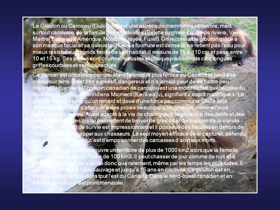 Le Glouton ou Carcajou (Gulo gulo) est une espèce de mammifère omnivore, mais surtout carnivore, de la famille des mustélidés (Belette pygmée, Loutre de rivière, Vison, Martre, Blaireau d Amérique, Mouffette rayée, Furet). On reconnaît le glouton grâce à son masque facial et sa queue touffue. Sa fourrure est dense et ne retient pas l'eau pour mieux résister aux grands froids de son habitat. Il mesure de 75 à 110 cm et pèse entre 10 et 15 kg. Ses pattes sont courtes, robustes et chaque pied compte cinq longues griffes courbées et semi-rétractiles.