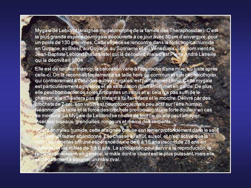 Mygale de Leblond (araignée mygalomorphe de la famille des Theraphosidae). C est la plus grande espèce de mygale découverte à ce jour avec 30 cm d envergure, pour un poids de 130 grammes. Cette espèce se rencontre dans la forêt tropical humide en Guyane, au Brésil, au Guyana, au Suriname et au Venezuela. Son nom vient de Jean-Baptiste Leblond (naturaliste) qui la découvrit, mais c est Pierre André Latreille qui la décrivit en 1804.