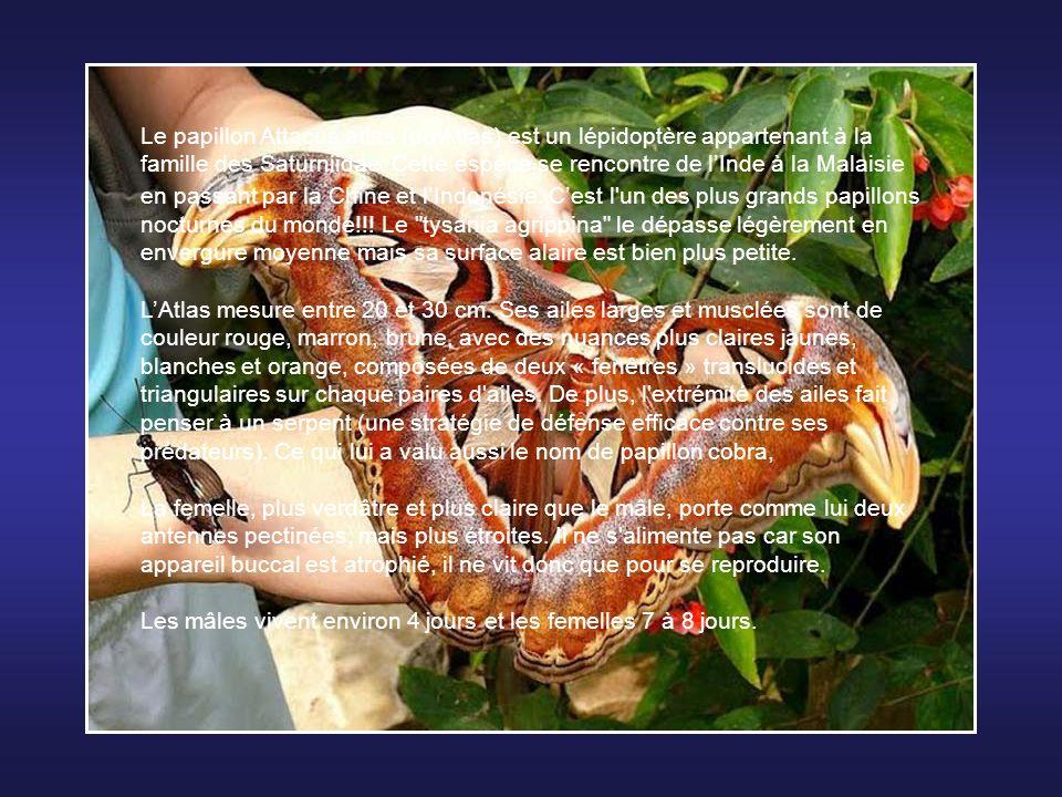 Le papillon Attacus atlas (ou Atlas) est un lépidoptère appartenant à la famille des Saturniidae. Cette espèce se rencontre de l'Inde à la Malaisie en passant par la Chine et l'Indonésie. C'est l un des plus grands papillons nocturnes du monde!!! Le tysania agrippina le dépasse légèrement en envergure moyenne mais sa surface alaire est bien plus petite.