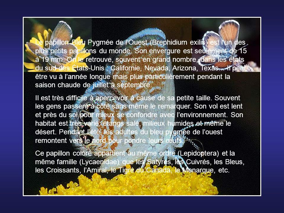 Le papillon Bleu Pygmée de l'Ouest (Brephidium exilis) est l'un des plus petits papillons du monde. Son envergure est seulement de 15 à 19 mm. On le retrouve, souvent en grand nombre, dans les états du sud des États-Unis : Californie, Nevada, Arizona, Texas... Il peut être vu à l'année longue mais plus particulièrement pendant la saison chaude de juillet à septembre.