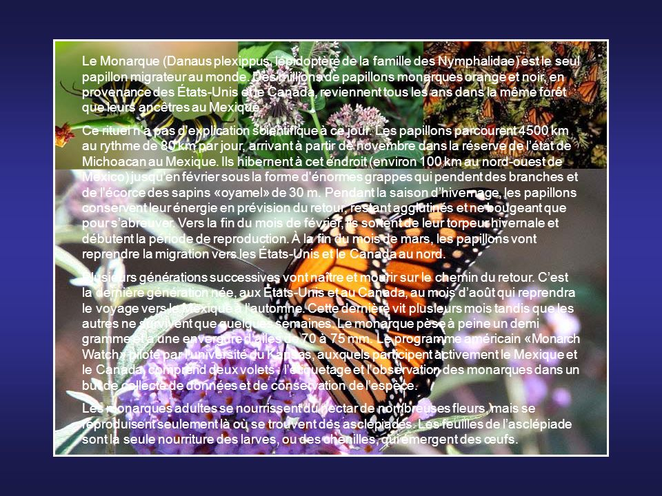 Le Monarque (Danaus plexippus, lépidoptère de la famille des Nymphalidae) est le seul papillon migrateur au monde. Des millions de papillons monarques orange et noir, en provenance des États-Unis et le Canada, reviennent tous les ans dans la même forêt que leurs ancêtres au Mexique.