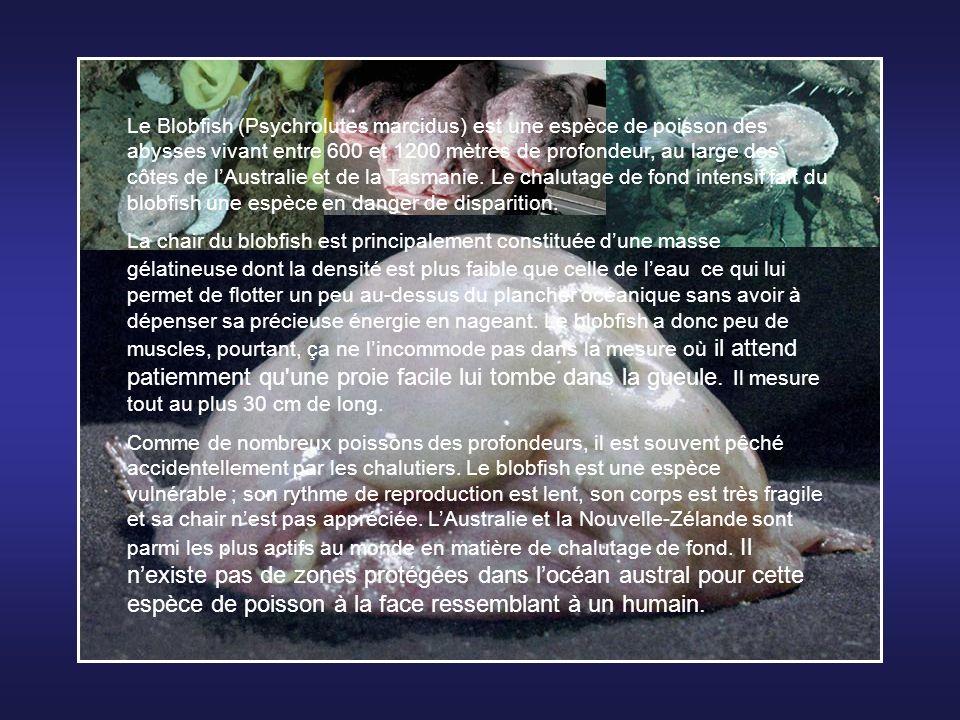 Le Blobfish (Psychrolutes marcidus) est une espèce de poisson des abysses vivant entre 600 et 1200 mètres de profondeur, au large des côtes de l'Australie et de la Tasmanie. Le chalutage de fond intensif fait du blobfish une espèce en danger de disparition.
