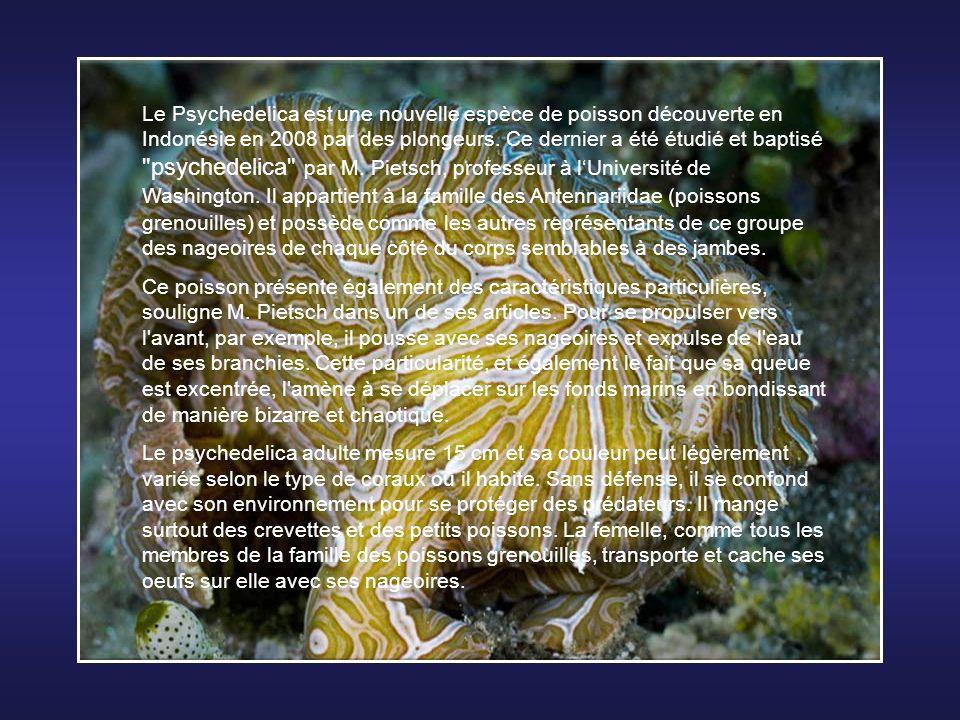 Le Psychedelica est une nouvelle espèce de poisson découverte en Indonésie en 2008 par des plongeurs. Ce dernier a été étudié et baptisé psychedelica par M. Pietsch, professeur à l'Université de Washington. Il appartient à la famille des Antennariidae (poissons grenouilles) et possède comme les autres représentants de ce groupe des nageoires de chaque côté du corps semblables à des jambes.
