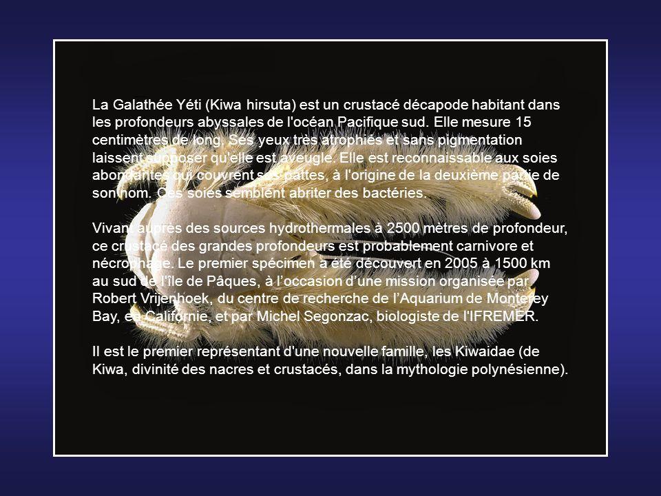 La Galathée Yéti (Kiwa hirsuta) est un crustacé décapode habitant dans les profondeurs abyssales de l océan Pacifique sud. Elle mesure 15 centimètres de long. Ses yeux très atrophiés et sans pigmentation laissent supposer qu elle est aveugle. Elle est reconnaissable aux soies abondantes qui couvrent ses pattes, à l origine de la deuxième partie de son nom. Ces soies semblent abriter des bactéries.