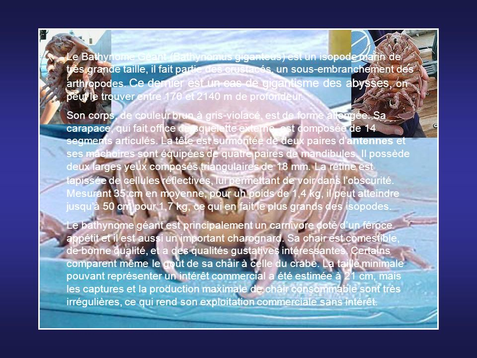 Le Bathynome Géant (Bathynomus giganteus) est un isopode marin de très grande taille, il fait partie des crustacés, un sous-embranchement des arthropodes. Ce dernier est un cas de gigantisme des abysses, on peut le trouver entre 170 et 2140 m de profondeur.