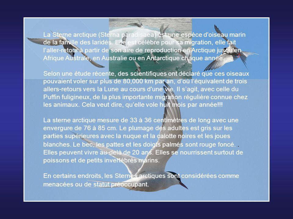 La Sterne arctique (Sterna paradisaea) est une espèce d oiseau marin de la famille des laridés. Elle est célèbre pour sa migration, elle fait l'aller-retour à partir de son aire de reproduction en Arctique jusqu'en Afrique Australe, en Australie ou en Antarctique chaque année.