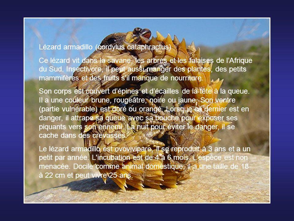 Lézard armadillo (cordylus cataphractus)