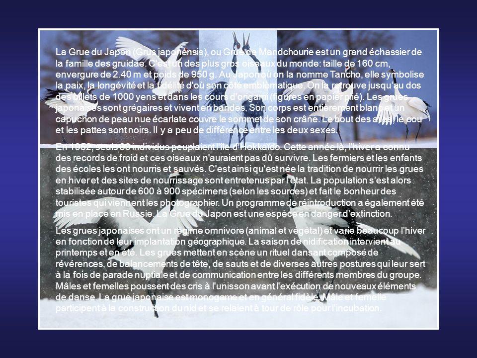 La Grue du Japon (Grus japonensis), ou Grue de Mandchourie est un grand échassier de la famille des gruidae. C est un des plus gros oiseaux du monde: taille de 160 cm, envergure de 2.40 m et poids de 950 g. Au Japon où on la nomme Tancho, elle symbolise la paix, la longévité et la fidélité d où son côté emblèmatique. On la retrouve jusqu'au dos des billets de 1000 yens et dans les cours d origami (figures en papier plié). Les grues japonaises sont grégaires et vivent en bandes. Son corps est entièrement blanc et un capuchon de peau nue écarlate couvre le sommet de son crâne. Le bout des ailes, le cou et les pattes sont noirs. Il y a peu de différence entre les deux sexes.