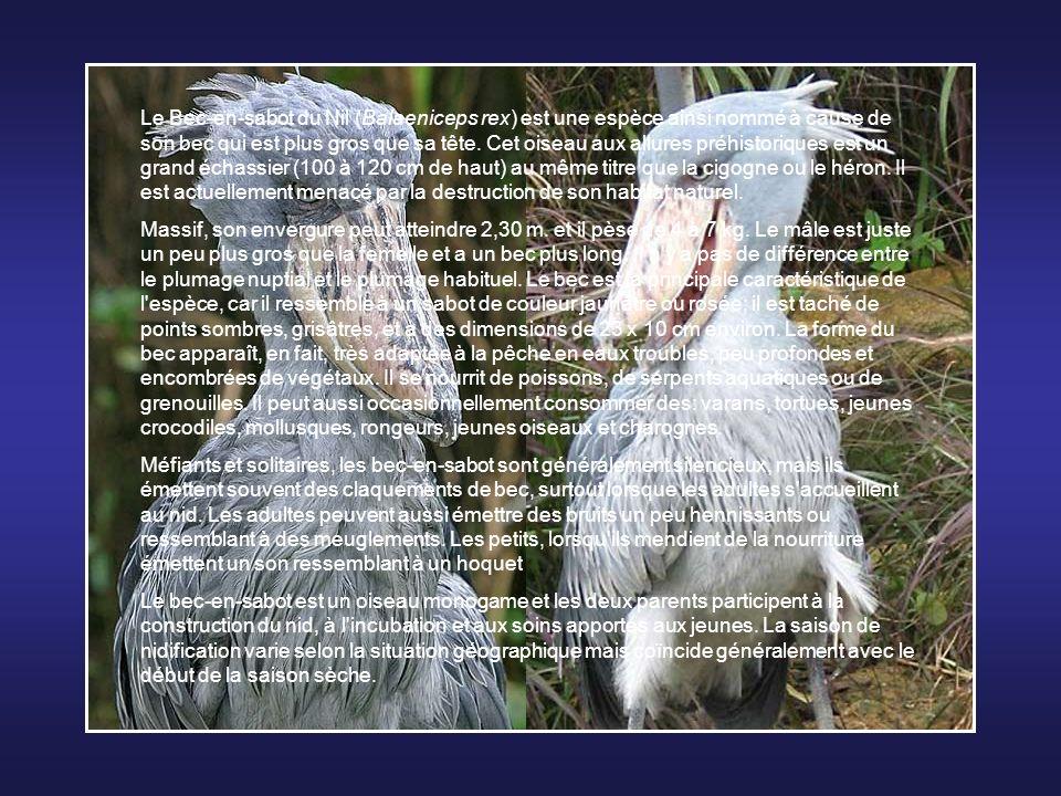 Le Bec-en-sabot du Nil (Balaeniceps rex) est une espèce ainsi nommé à cause de son bec qui est plus gros que sa tête. Cet oiseau aux allures préhistoriques est un grand échassier (100 à 120 cm de haut) au même titre que la cigogne ou le héron. Il est actuellement menacé par la destruction de son habitat naturel.