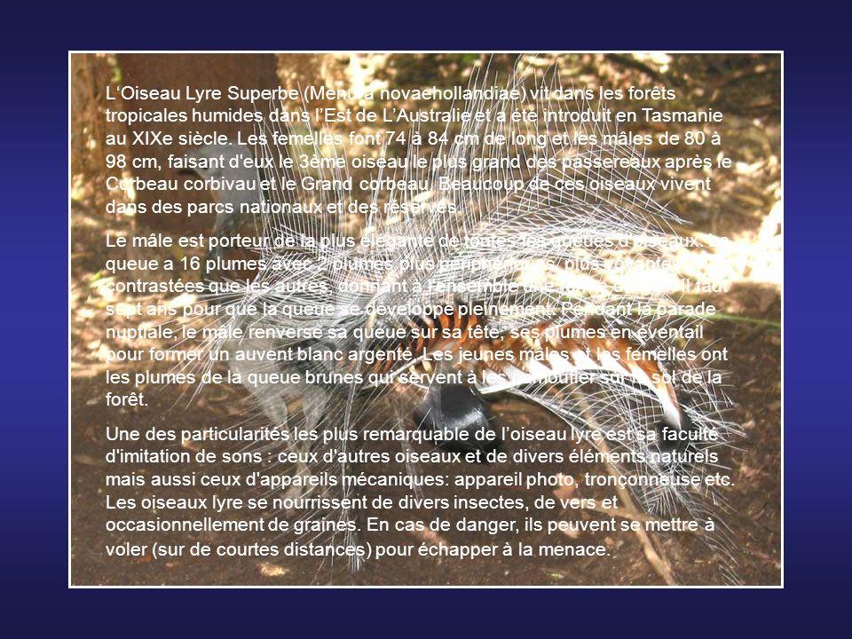 L'Oiseau Lyre Superbe (Menura novaehollandiae) vit dans les forêts tropicales humides dans l'Est de L'Australie et a été introduit en Tasmanie au XIXe siècle. Les femelles font 74 à 84 cm de long et les mâles de 80 à 98 cm, faisant d eux le 3ème oiseau le plus grand des passereaux après le Corbeau corbivau et le Grand corbeau. Beaucoup de ces oiseaux vivent dans des parcs nationaux et des réserves.