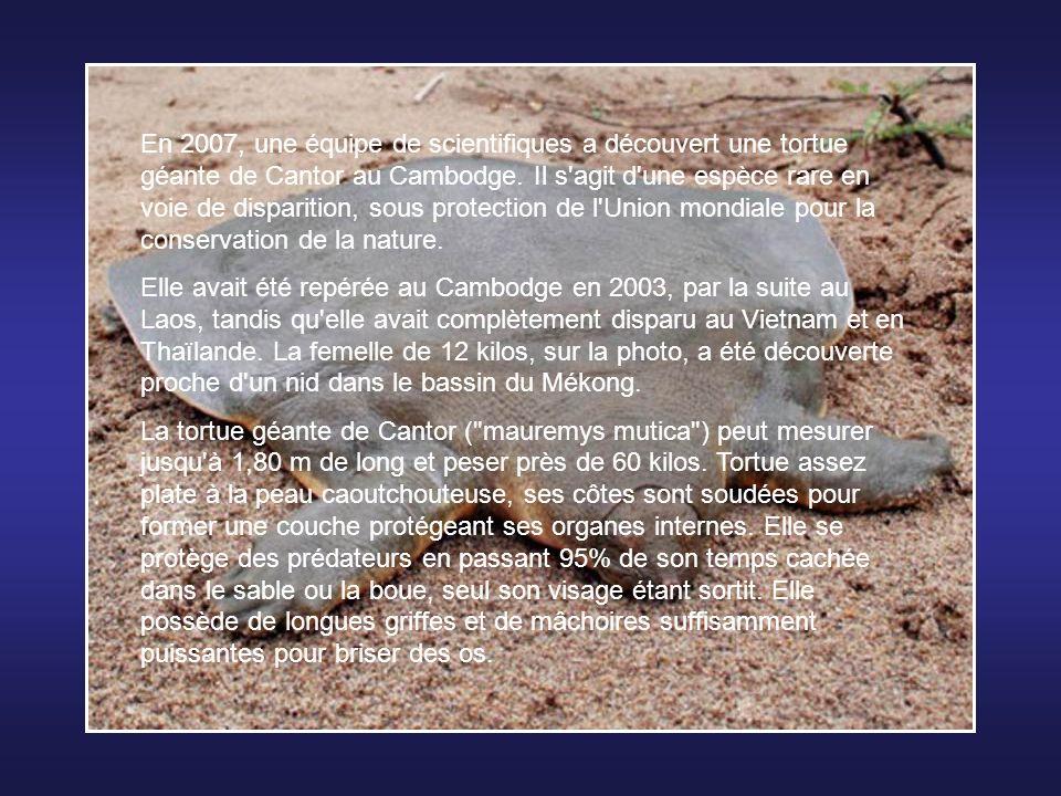En 2007, une équipe de scientifiques a découvert une tortue géante de Cantor au Cambodge. Il s agit d une espèce rare en voie de disparition, sous protection de l Union mondiale pour la conservation de la nature.