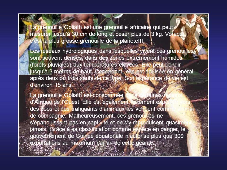 La grenouille Goliath est une grenouille africaine qui peut mesurer jusqu'à 30 cm de long et peser plus de 3 kg. Vorace, c'est la plus grosse grenouille de la planète!!!