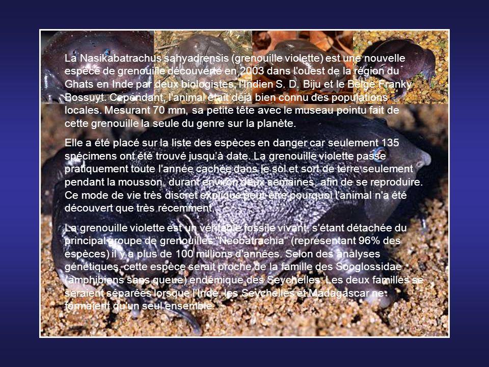 La Nasikabatrachus sahyadrensis (grenouille violette) est une nouvelle espèce de grenouille découverte en 2003 dans l ouest de la région du Ghats en Inde par deux biologistes, l Indien S. D. Biju et le Belge Franky Bossuyt. Cependant, l animal était déjà bien connu des populations locales. Mesurant 70 mm, sa petite tête avec le museau pointu fait de cette grenouille la seule du genre sur la planète.