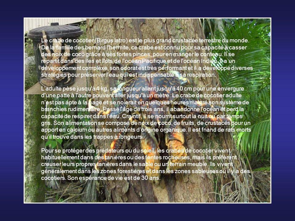 Le crabe de cocotier (Birgus latro) est le plus grand crustacée terrestre du monde. De la famille des bernard l hermite, ce crabe est connu pour sa capacité à casser des noix de coco grâce à ses fortes pinces, pour en manger le contenu. Il se répartit dans des îles et îlots de l océan Pacifique et de l océan Indien. Il a un développement complexe, son odorat est très performant et il a développé diverses stratégies pour préserver l eau qui est indispensable à sa respiration.