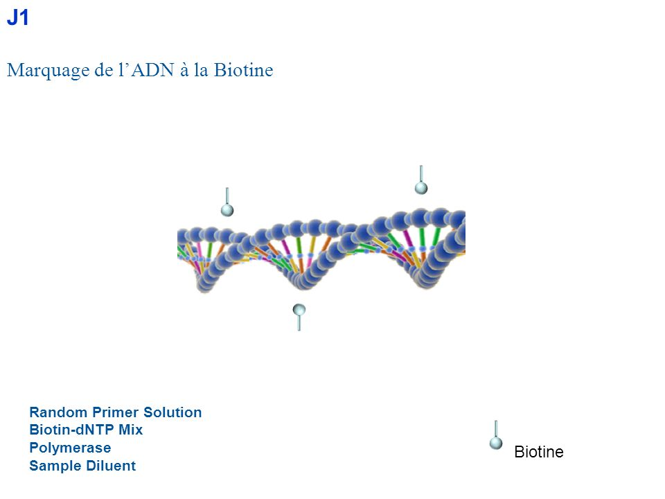 J1 Marquage de l'ADN à la Biotine Biotine Random Primer Solution