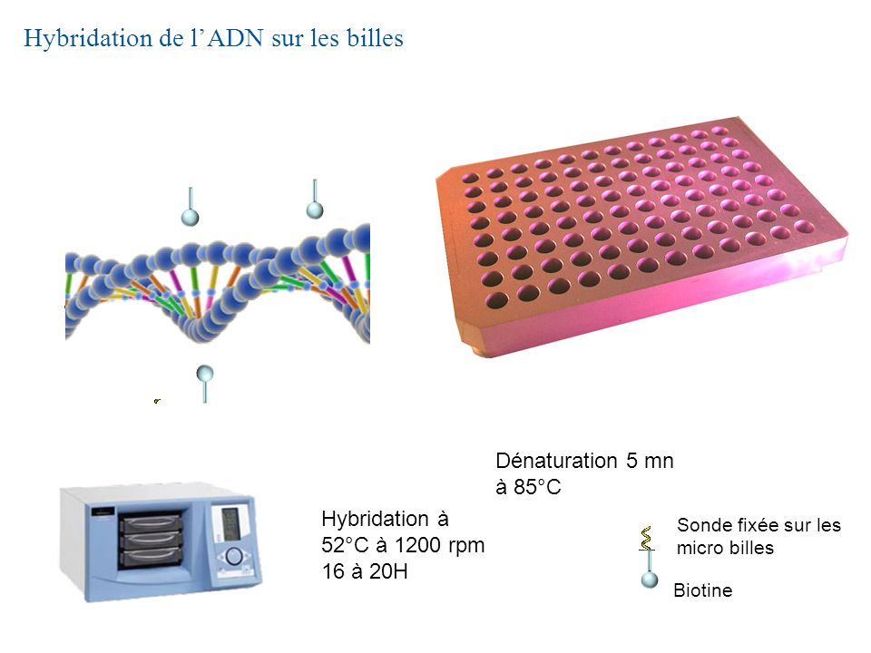 Hybridation de l'ADN sur les billes