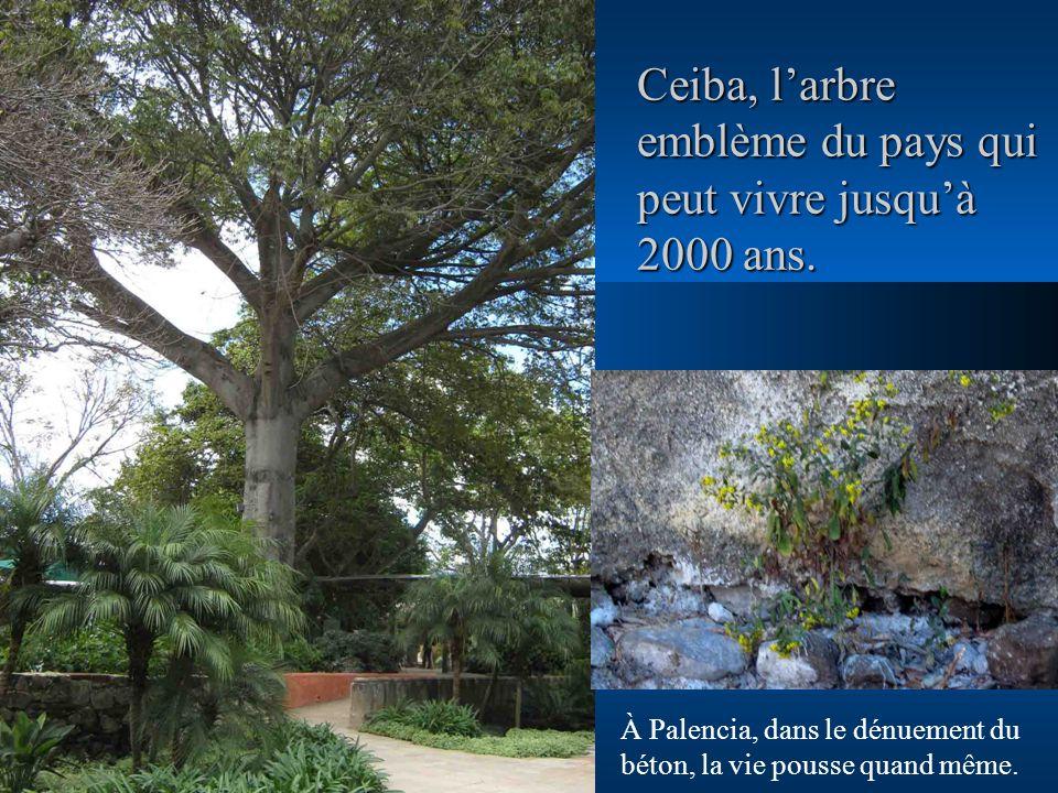 Ceiba, l'arbre emblème du pays qui peut vivre jusqu'à 2000 ans.