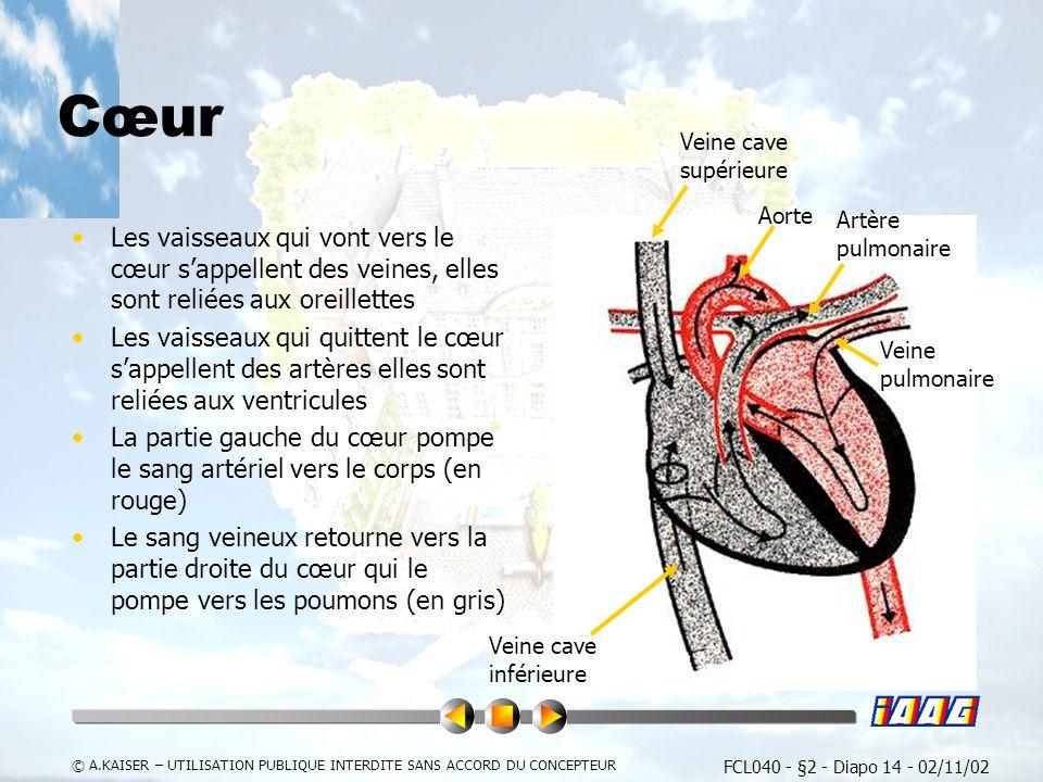 Cœur Veine cave supérieure. Aorte. Artère pulmonaire.
