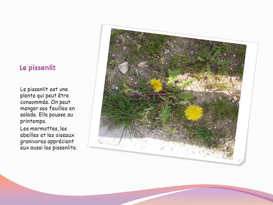Le pissenlit Le pissenlit est une plante qui peut être consommée. On peut manger ses feuilles en salade. Elle pousse au printemps.