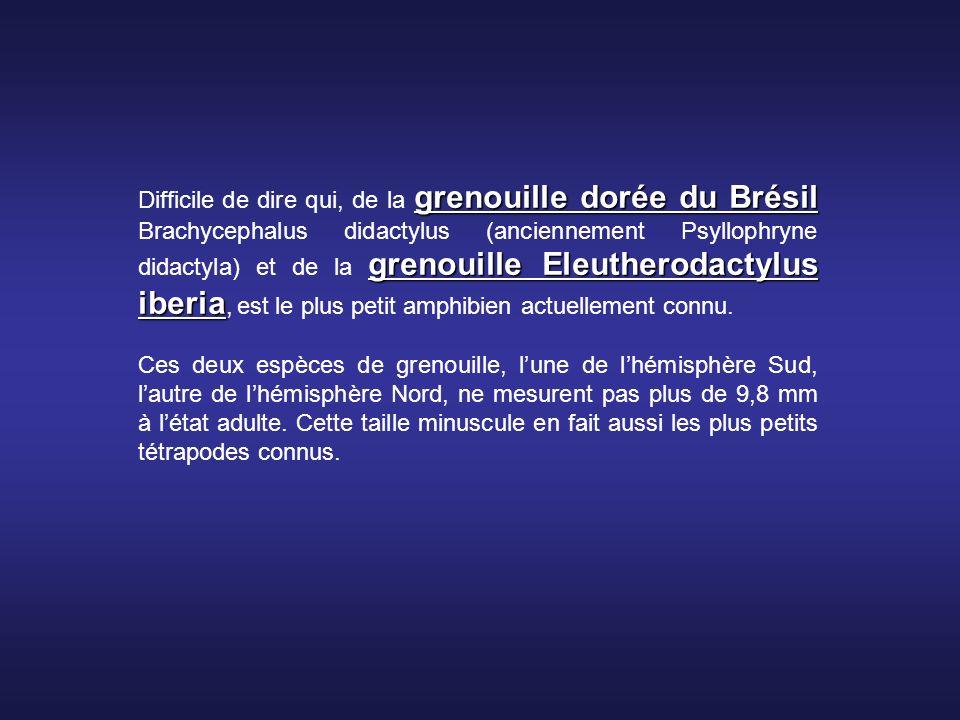 Difficile de dire qui, de la grenouille dorée du Brésil Brachycephalus didactylus (anciennement Psyllophryne didactyla) et de la grenouille Eleutherodactylus iberia, est le plus petit amphibien actuellement connu.