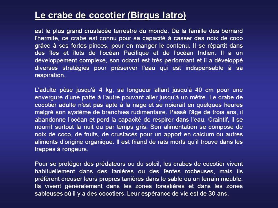 Le crabe de cocotier (Birgus latro)