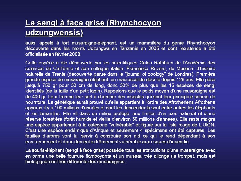 Le sengi à face grise (Rhynchocyon udzungwensis)