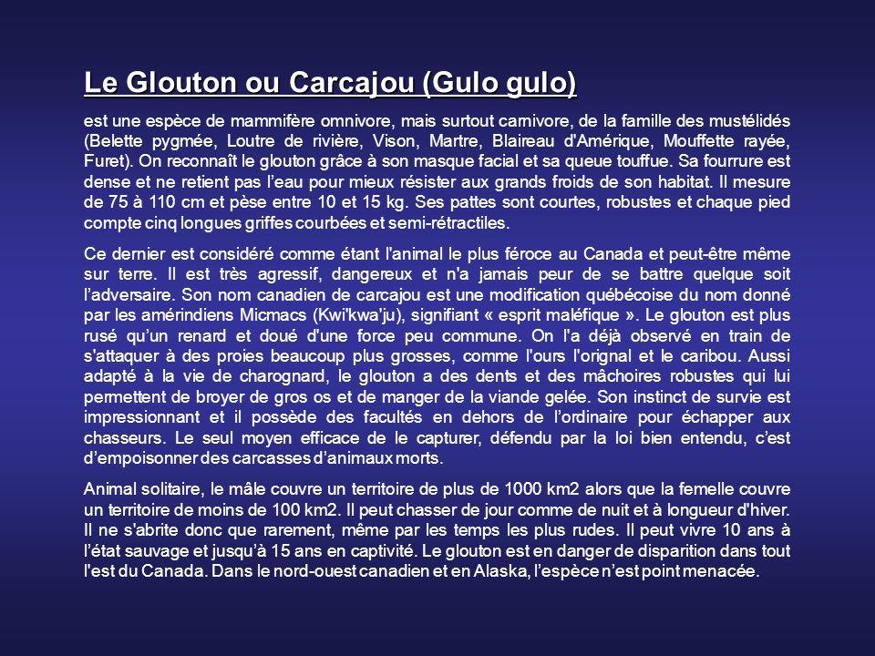 Le Glouton ou Carcajou (Gulo gulo)