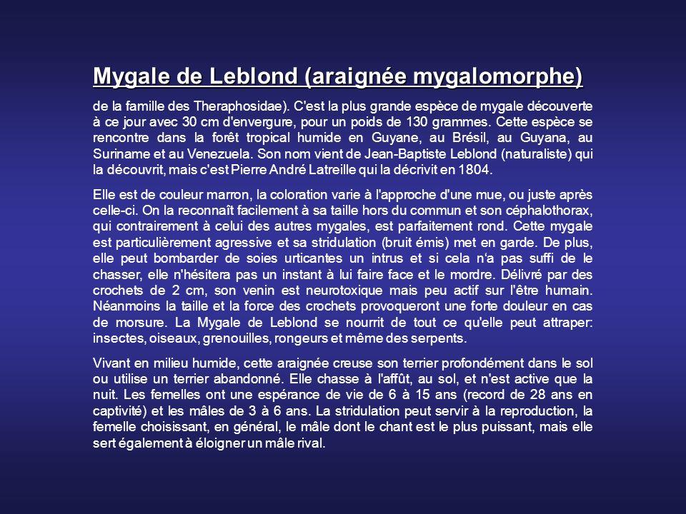Mygale de Leblond (araignée mygalomorphe)