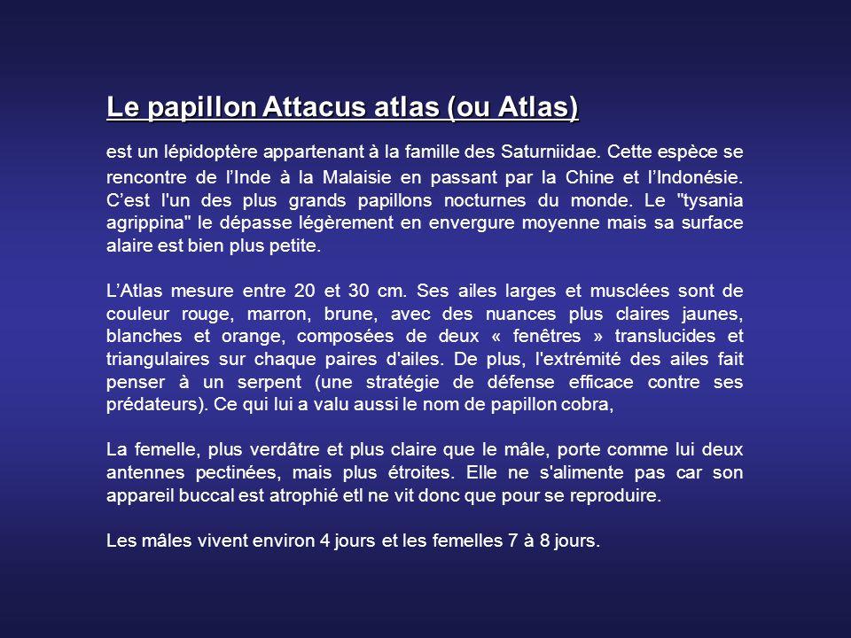 Le papillon Attacus atlas (ou Atlas)