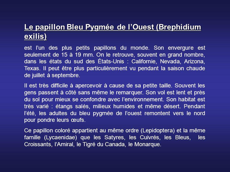 Le papillon Bleu Pygmée de l'Ouest (Brephidium exilis)