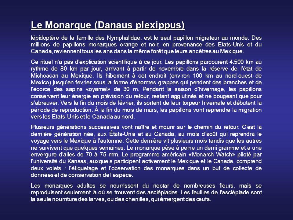Le Monarque (Danaus plexippus)