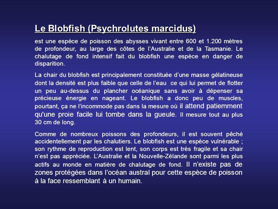 Le Blobfish (Psychrolutes marcidus)