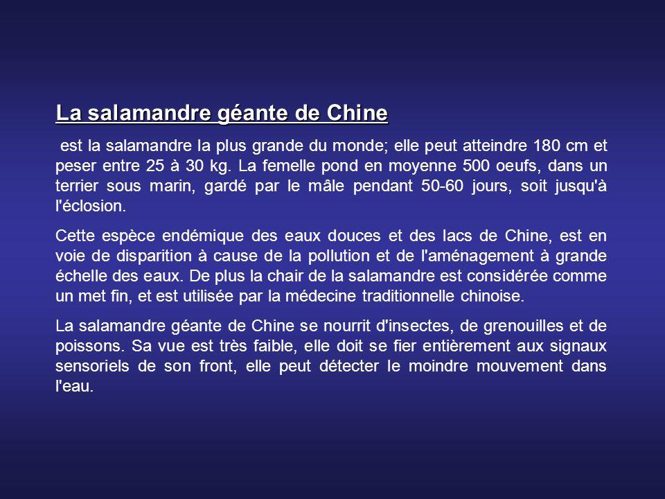 La salamandre géante de Chine
