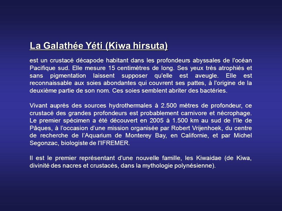 La Galathée Yéti (Kiwa hirsuta)