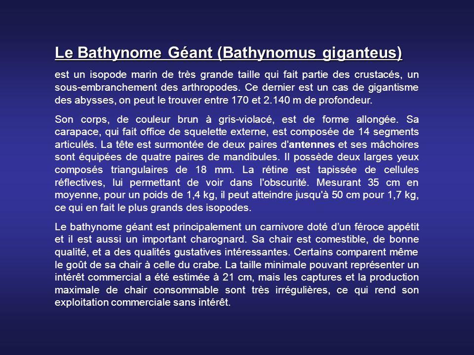 Le Bathynome Géant (Bathynomus giganteus)