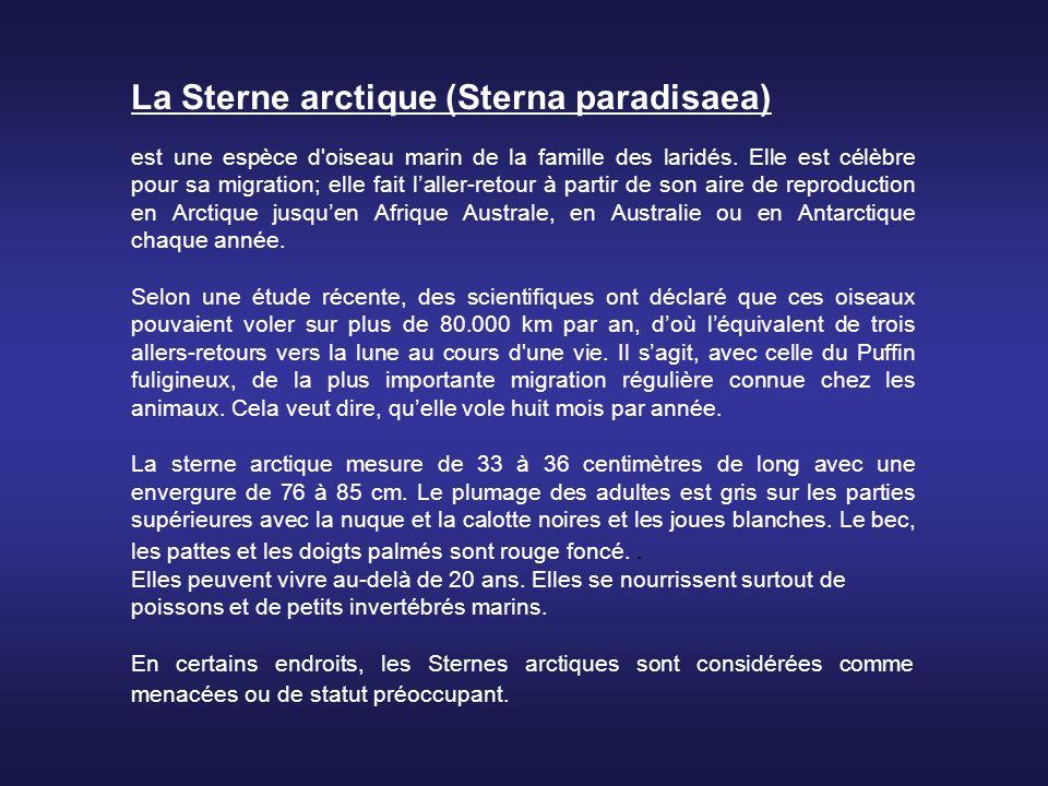 La Sterne arctique (Sterna paradisaea)