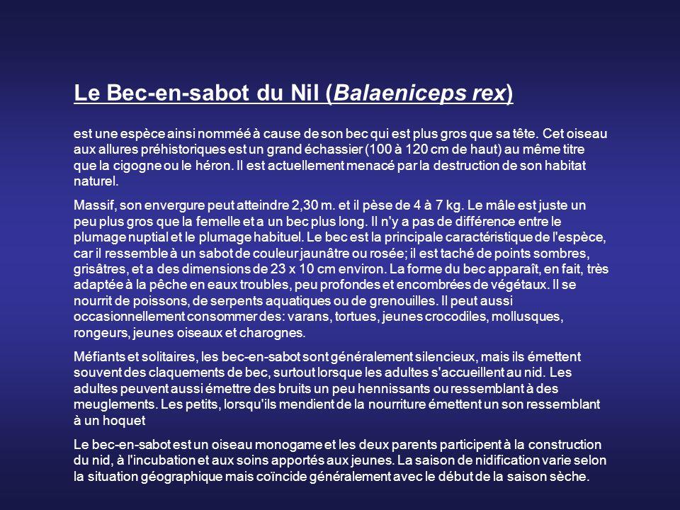 Le Bec-en-sabot du Nil (Balaeniceps rex)